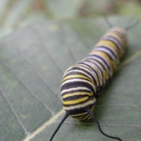 image monarch-caterpillar-eg-jpg