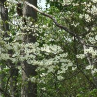 image swcr-flowering-dogwood-woodland-edge-bds-jpg