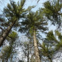 image swcr-red-pines-bds-jpg