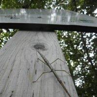 image walking-stick-on-pole-eg-jpg