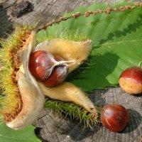 American Chestnut nuts (mg)