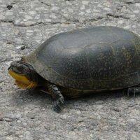 Blandings Turtle (bds)