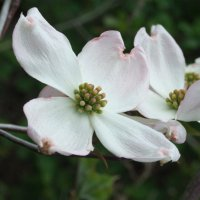 Flowering Dogwood - LPBR (bds)