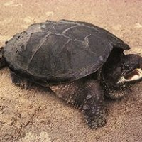 snapping_turtle (website)