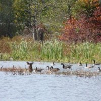 image swcr-canada-geese-on-pond-bds-jpg