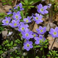 image swcr-hepatica-april-15-2010-bds-jpg