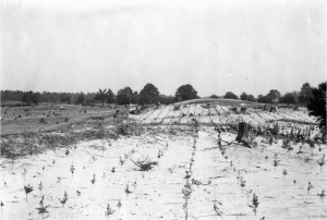 An early pine plantation at the St. Williams Forestry Station.